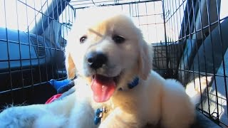 Download One Year with a Golden Retriever Puppy Video