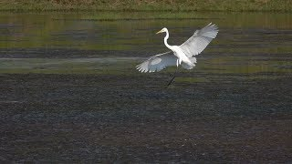 Download Great Egrets in Slow Flight (RX10 Mark IV) Video
