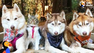 Download Cat Leads Her Pack Of Husky Dogs | The Dodo Video