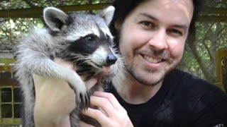 Download Rescuing Baby Raccoons - How to feed and raise coon babies Video