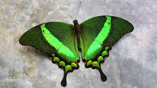 Download 10 Most Beautiful Butterflies on Planet Earth Video