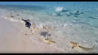 Download Dozens of Blacktip Reef Sharks Join Feeding Frenzy in The Maldives Video