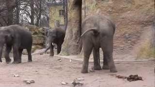 Download TIERWELT Elefanten im Zoo Heidelberg Teil 1 Video