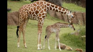 Download giraffe sounds Video