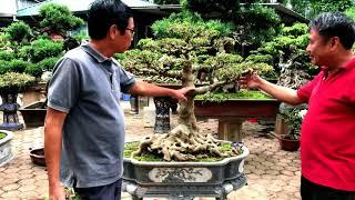 Download TRẢM CÀNH CÂY SANH TRỰC QUÂN TỬ CỦA ANH NGUYỄN THANH HẢI Video