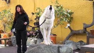 Download San Diego Zoo - White Arctic Wolf Howling Video
