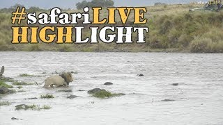 Download Lion crossing the Mara River! Video