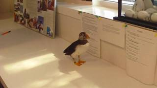 Download meeting Willy the puffin Video