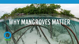 Download Mangroves Matter   Conservation International (CI) Video