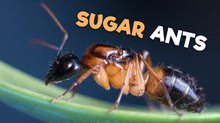 Download Sugar Ants Video