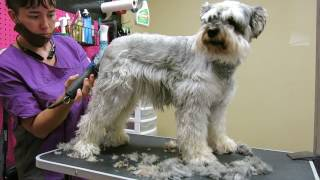 Download Snickers Matted Schnauzer Video 1 of 4 Video