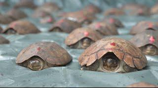 Download Rescued Endangered Turtles: Kamp Kenan S3 Episode 31 Video