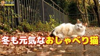 Download 【野良猫】冬も元気なおしゃべり猫【地域猫】 Video