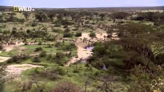 Download Wild Lion Ganglands National Geographic Documentary Video