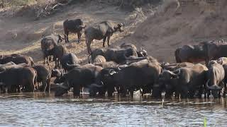 Download African Buffalo herd drinking water next to crocodile Video