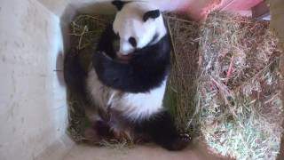Download Day 9: Es sind Pandazwillinge! It's panda twins! Video