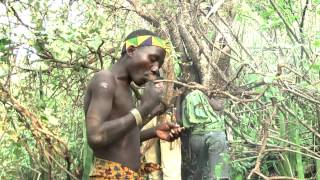 Download Hadzabe eating honey. The Hadzabe busmen collect honey from wild bees Video