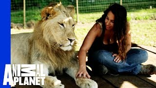 Download Lions Treat Woman Like the Leader of the Pride Video