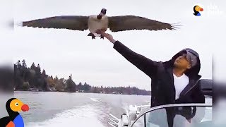 Download Goose Visits Man Who Rescued Her Every Day | The Dodo Video