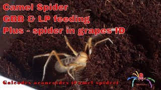 Download Spider in Grapes ID & Camel spider digging - FIXED Video
