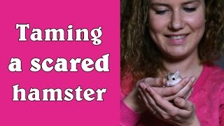 Download Taming a scared hamster Video