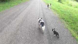 Download Can Gus run with the border collies? Video