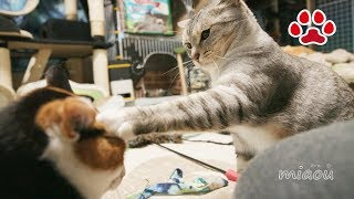 Download 激おこの三毛猫に天然猫が近づいたら悲劇が【瀬戸のるか日記】 tragedy happened when a goofy cat joined the Mi ke and Chipie's battle Video