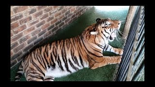 Download Tiger getting bored watching us work ! Video