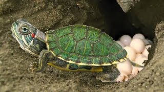 Download Red Eared Slider Turtle covering her nest and laying egg- Baby Turtle hatching Video