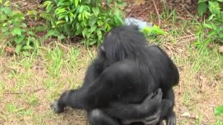 Download Любовь обезьян искренна и проста Video