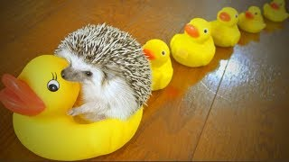 Download Amazing Pets 🦔🦔 Cute Hedgehog Playing (Full) [Funny Pets] Video