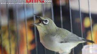 Download Pleci Dakun Merapi Buka Paruh sambung Kenarian Video