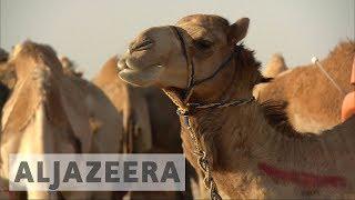 Download Saudi blockade on Qatar sabotages multi-billion dollar camel business Video