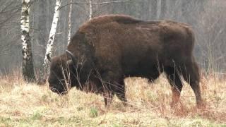 Download wisent, Bison bonasus, European bison, Bison d 'Europe Video