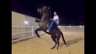 Download شرح لتعليم الخيل على الوقوف بدون ضرب او عنف التغزيل How to Teach a Horse to Rear Video