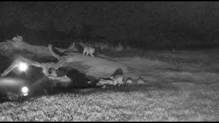 Download Djuma: Hosana male leopard makes LIVE kill on cam - 22:02 - 07/15/18 Video
