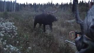 Download Chasse à l'orignal à l'arc / Bow moose hunting Quebec Chassomaniak Video