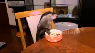 Download Pet otter eats at table - well behaved otter Video