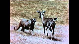 Download Rare Vintage Footage: Mountain Lion Attacks Deer Video