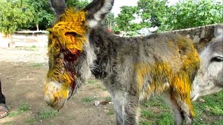 Download Injured baby donkey rescued; watch her mama's reaction Video