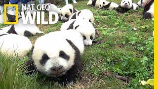 Download Record: 42 Pandas Born in Breeding Program This Year | Nat Geo Wild Video
