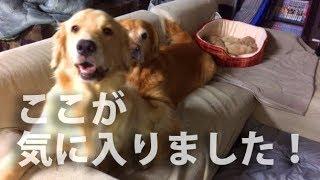 Download 犬たちにソファあげました。ご自由にどうぞ汚してください。 Video