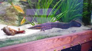 Download Monster Fish Eat Crawfish Video