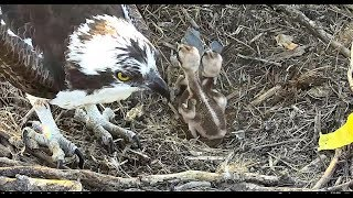 Download First feeding of the day for Chesapeake Osprey Chicks 2018 05 25 05 41 05 507 Video