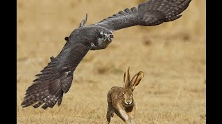 Download Most epic Goshaw Hunting Jack Rabbit Attack moments in HD Video