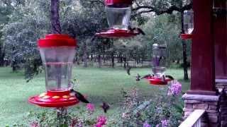 Download Hummingbirds migrating through Texas.mp4 Video