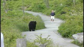 Download WLOS Bear chases man at Clingman's Dome in GSMNP Video
