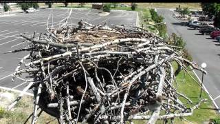 Download Sparrows Investigate Hellgate Nest – July 21, 2017 Video