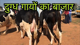 Download Chintamani cattle market -HF cows Detailed coverage Video