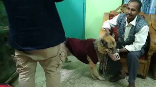 Download German Shepherd with a dress @ Dr. Sagir's Pet Clinic 01912251312 Vet in Dhaka City Video
